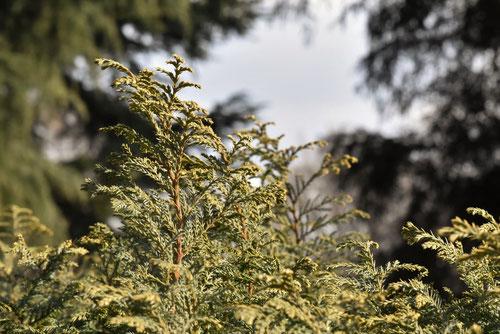 日光ヒバの品種,ホタルヒバ