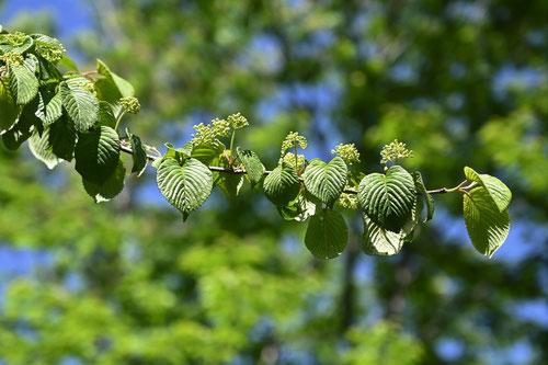 藪手毬の木の花