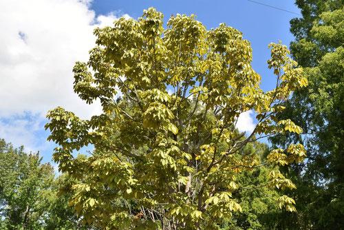 トチノキ 黄葉 紅葉