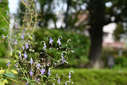 カリガネソウ,青い花の野草