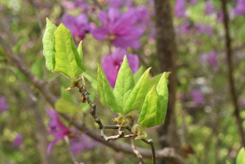 ミツバツツジの種類