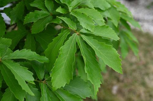 小楢,木,特徴