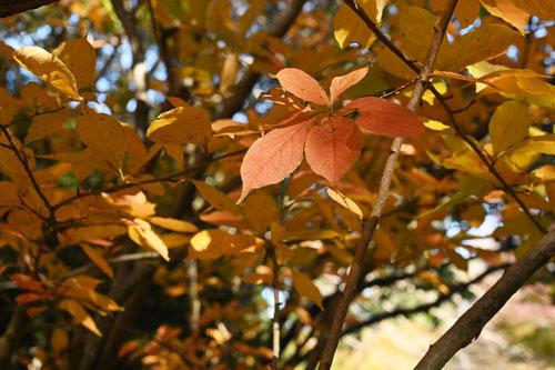 カマツカ,ウシコロシ,紅葉,黄葉