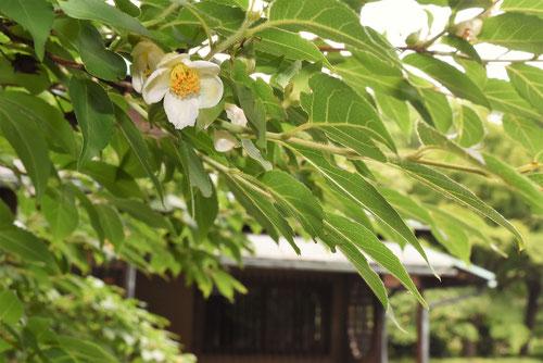 姫沙羅,ひめしゃら,花言葉