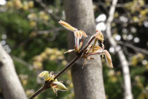 長者の木,芽吹き