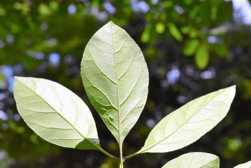 ヒトツバタゴ 葉っぱ 画像