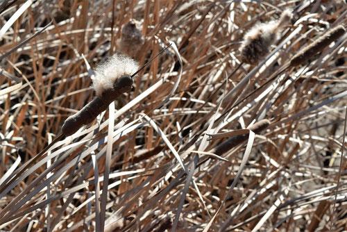 蒲の穂,画像