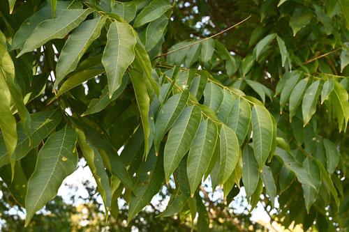 Soapberry tree,leaf