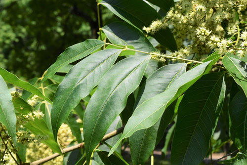 Soapberry tree,leaf