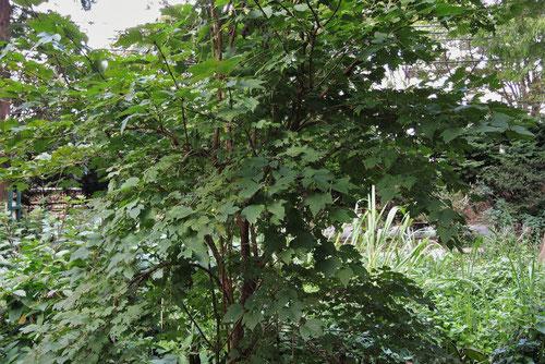 カンボク 樹木