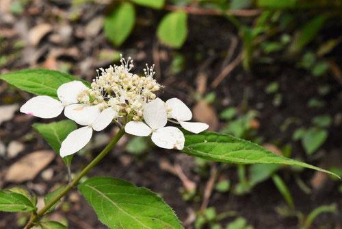 白い花が咲くアマチャ,種類