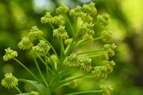黄緑色の花