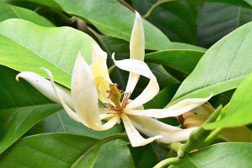 銀朴木,花
