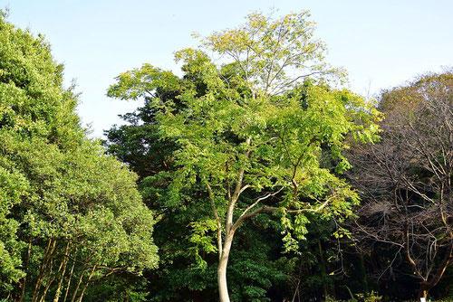 黄檗宗,樹木