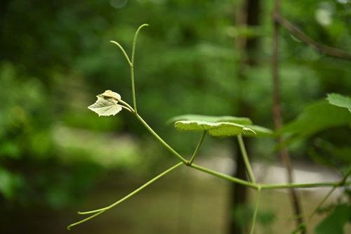 葡萄の木の芽