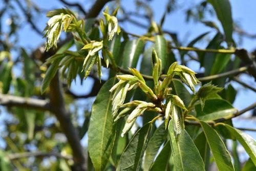 Bamboo-leafed oak