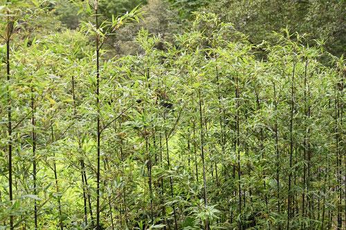 黒竹,竹林