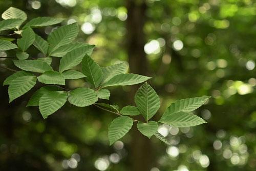Japanese beech,leaf