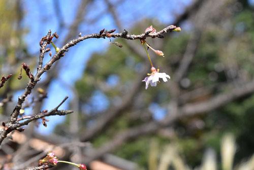 ジュウガツザクラ,花