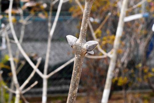 特徴的な冬芽