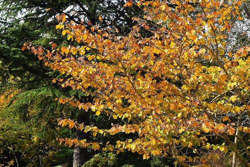 シナ万作 樹木