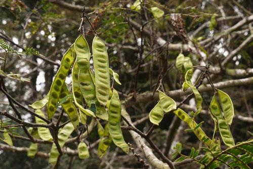 合歓の木 マメ 種子