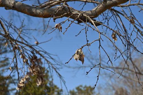 秋楡の実,あきにれ,画像