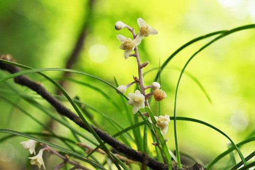 リュウノヒゲの開花時期