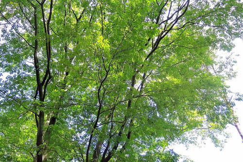 ニガキ 樹木 特徴