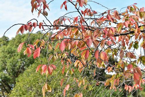 ギョイコウ,桜,紅葉