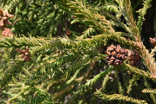 variety of Japanese cedar