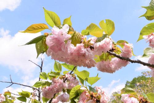 楊貴妃桜,開花時期