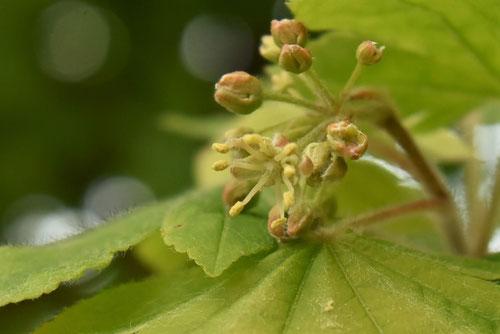 コハウチワカエデ,花