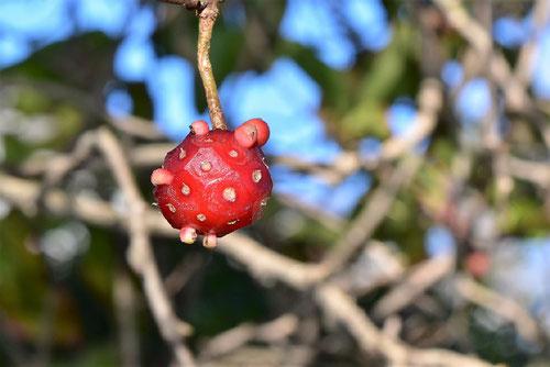 ビナンカヅラ,赤い実
