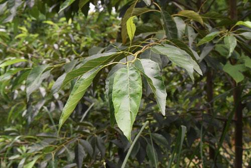 ハンノキ 樹木