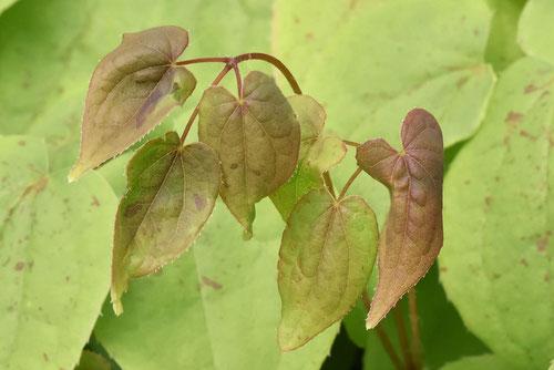 イカリソウ,葉っぱ,いかりそう