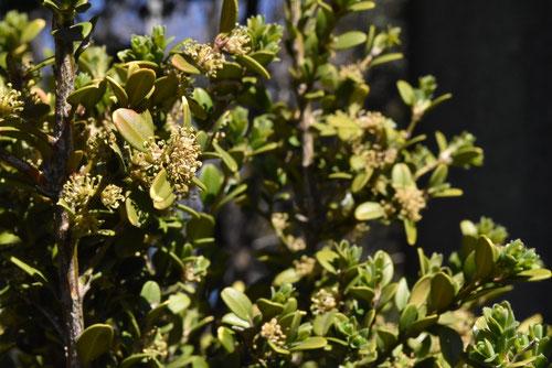 柘植の木の花