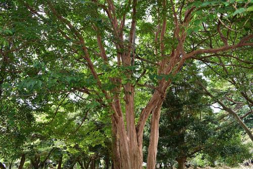 しまひゃくじっこう 木