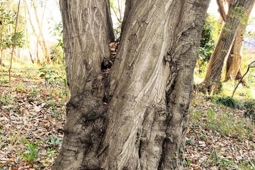 アカシデ 樹皮