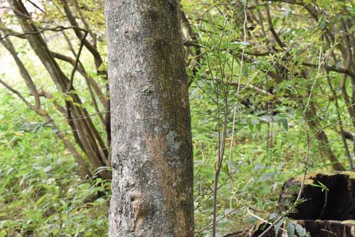 犬つげの木
