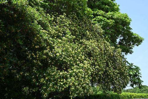 扉の木,花が咲く時期