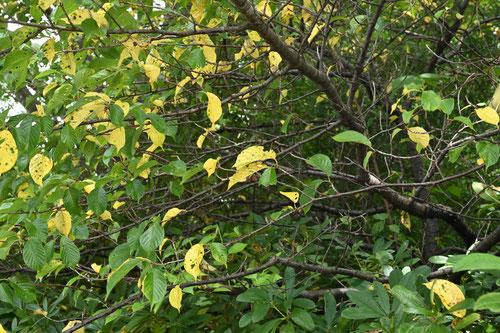 河津桜の木の葉