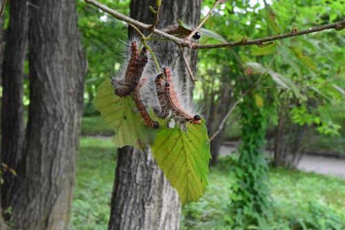 コナラ,葉,毛虫