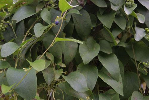 カミエビ,植物