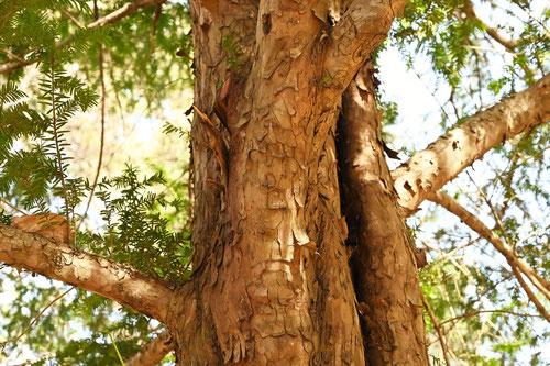 よーろっぱいちい,樹木