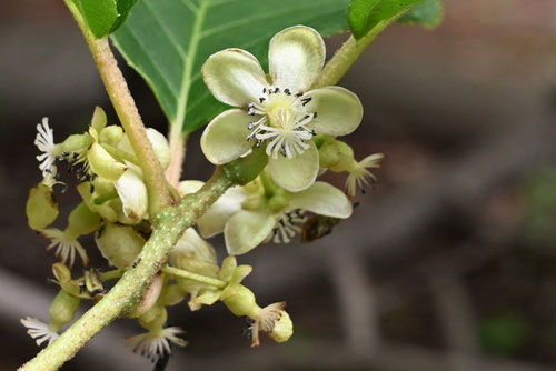 Kiwi berry,flower,picture