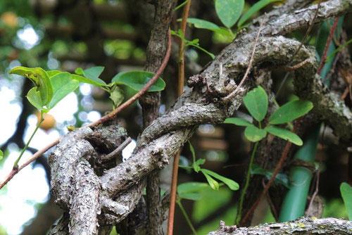 アケビ つる性植物
