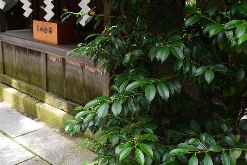 神棚に使う葉っぱ 種類
