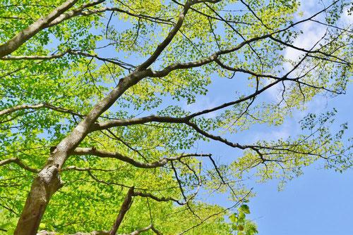 樹木図鑑,やまぼうし