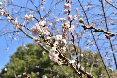 子福桜,画像,こぶくざくら